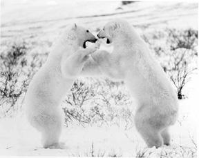 bears_fight