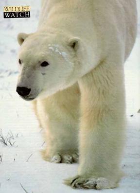 best_bears